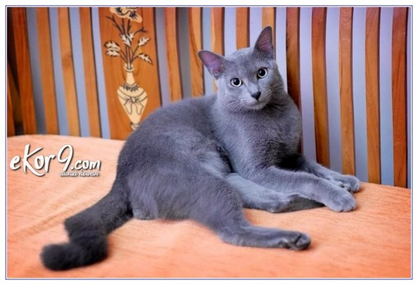 kucing endemik indonesia