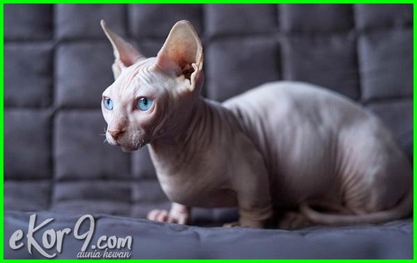 Nama Nama Jenis Kucing Dan Gambarnya Majalah Cat Dog