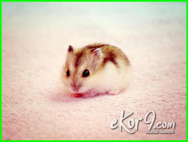bayi hamster lucu, anak hamster lucu, foto bayi hamster lucu, bayi hamster lucu, foto anak hamster lucu, gambar anak hamster lucu