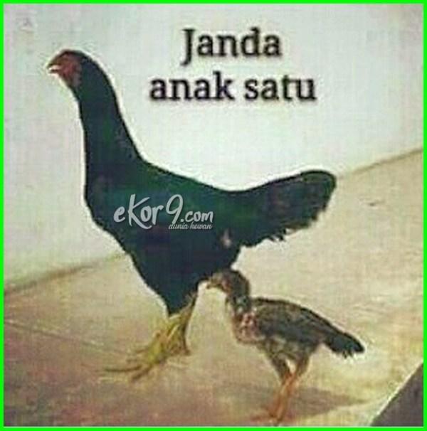 gambar ayam lucu.com, gambar dp lucu ayam, gambar lucu ceker ayam, gambar ayam dan tulisan lucu