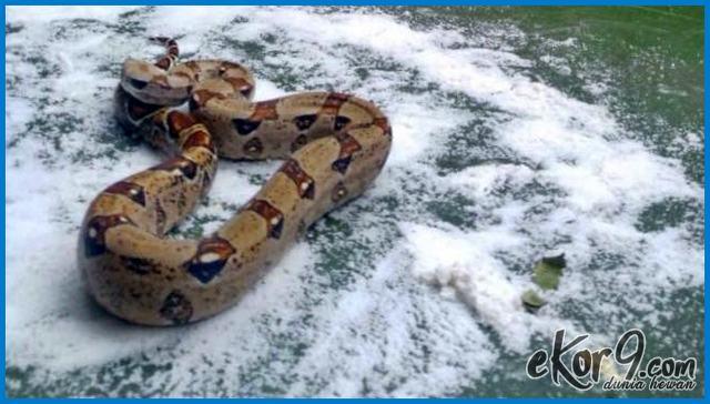 cara mengusir ular cabe, cara mengusir ular cara mengusir ular, cara mengusir ular cobra di rumah, cara mengusir ular dalam islam, cara mengusir ular dalam lubang, cara mengusir ular dalam wc, cara mengusir ular dari atap rumah, cara mengusir ular dari kamar mandi, cara mengusir ular dari kandang ayam, cara mengusir ular dari kebun, cara mengusir ular dari kolam ikan, cara mengusir ular dari lubang, cara mengusir ular dari pekarangan rumah, cara mengusir ular dari rumah, cara mengusir ular dengan alami
