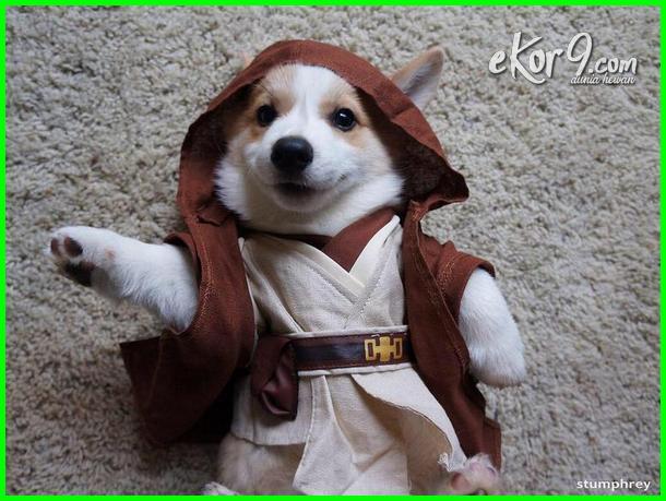 Keren Lucu Dan Menggemaskan  Anjing Ini Cosplay Pakai Kostum Ala Karakter Star Wars Ekor