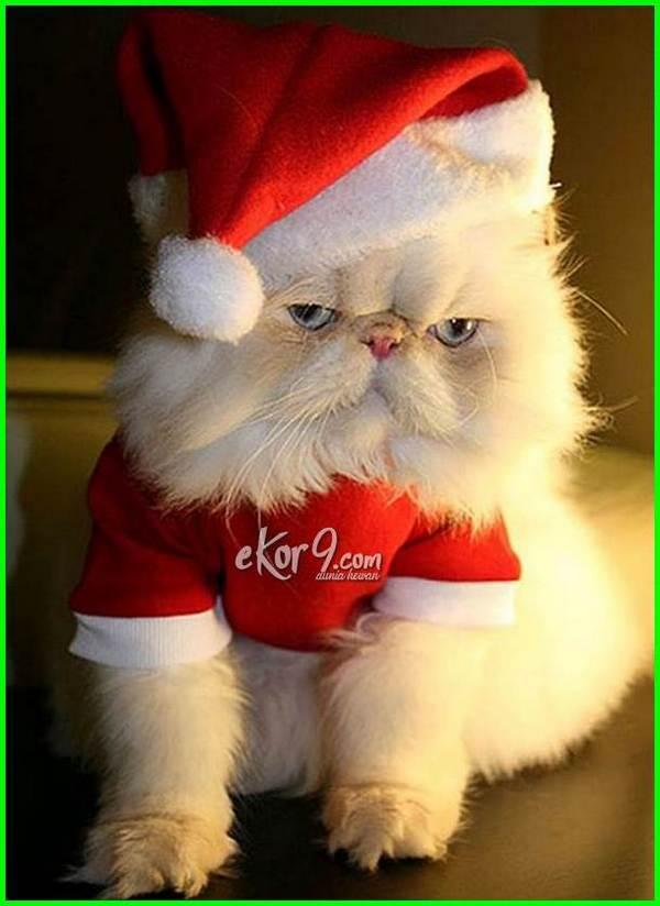 foto kucing anggora pakai baju, gambar kucing comel pakai baju, foto kucing pakai baju, foto kucing pakai baju lucu