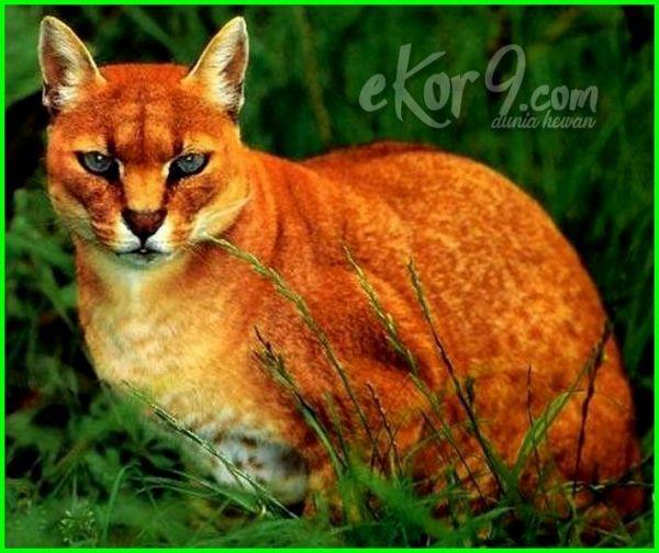kucing paling langka di dunia, kucing yang paling langka di dunia, jenis kucing langka di dunia, kucing kucing langka di dunia, 10 kucing langka di dunia, kucing terlangka di indonesia, jenis kucing terlangka, foto kucing terlangka di dunia