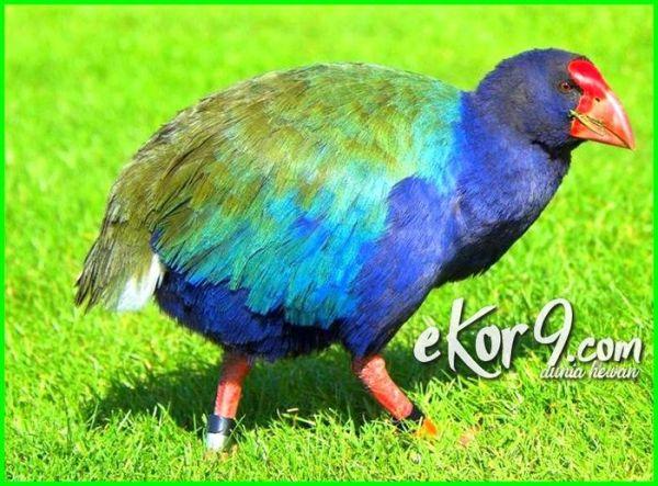 daftar burung langka di dunia, burung kicau langka di dunia, poto burung langka di dunia, burung langka dunia, burung langka yang ada di dunia, burung-burung langka di dunia, burung paling langka di dunia, 10 burung langka di dunia