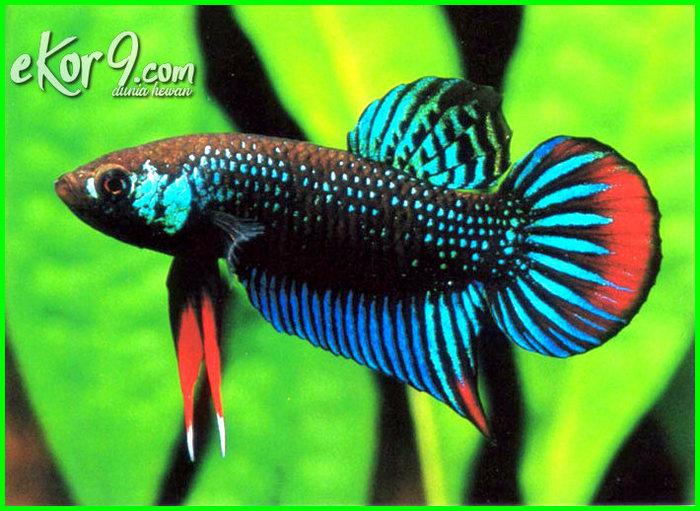 9800 Koleksi Gambar Ikan Cupang Yang Bagus Terbaik