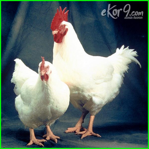 ayam pedaging super, ayam pedaging di malaysia, ayam pedaging malaysia, ayam broiler adalah, ayam potong apakah bisa bertelur, ayam broiler apakah bisa bertelur, ayam pedaging bertelur atau tidak, ayam pedaging bisa bertelur, ayam pedaging besar, ayam potong berapa, ayam pedaging.com, ayam pedaging jantan dan betina