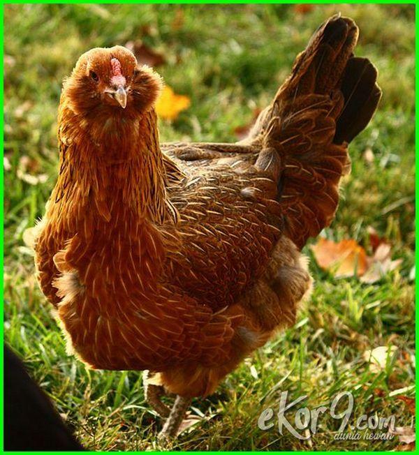 berbagai jenis ayam di dunia, foto jenis ayam di dunia, jenis ayam hutan seluruh dunia, jenis jenis ayam di dunia, jenis jenis ayam dunia, jenis jenis ayam diseluruh dunia, macam jenis ayam di dunia, jenis ayam petelur di dunia, jenis ayam di seluruh dunia