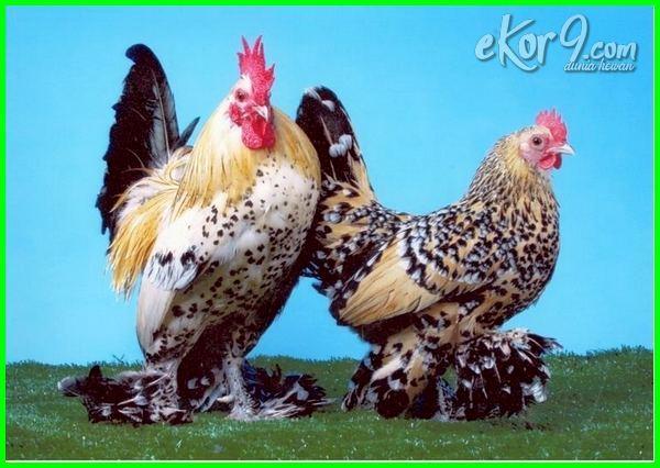 ayam kate dan jenisnya, gambar ayam kate emas, ayam kate facebook, ayam kate gambar, ayam kate in english, ayam kate impor