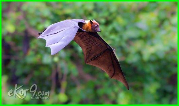 Hewan yang hidup di udara disebut Flying and gliding animals (volant animals)