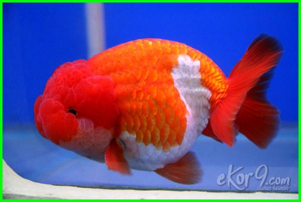 jenis ikan mas koki di indonesia, jenis ikan mas koki dan gambarnya, nama dan jenis ikan mas koki, gambar dan jenis ikan mas koki, macam dan jenis ikan mas koki, foto jenis ikan mas koki, gambar jenis ikan mas koki, jenis jenis ikan mas koki beserta gambarnya