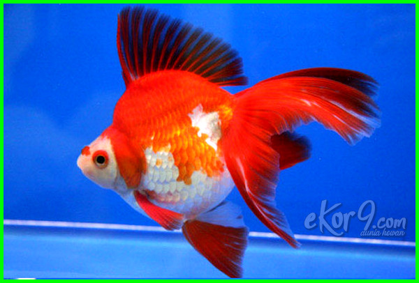 jenis ikan mas koki yang paling mahal, jenis makanan ikan mas koki, macam jenis ikan mas koki, jenis makanan untuk ikan mas koki, nama jenis ikan mas koki, jenis obat ikan mas koki, jenis ikan mas koki pdf, jenis penyakit ikan mas koki, jenis pakan ikan mas koki