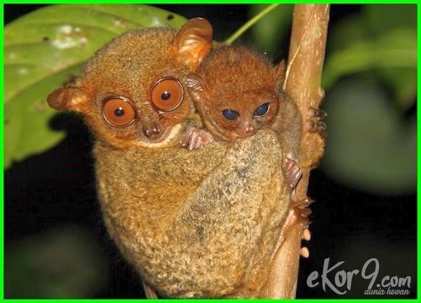 3 cara melestarikan hewan langka di indonesia, sebutkan 4 hewan langka di indonesia, 5 hewan langka di indonesia, 50 hewan langka di indonesia, 5 hewan langka di indonesia beserta keterangannya, 5 hewan langka di indonesia beserta nama latinnya, 50 hewan langka di indonesia beserta asalnya, 5 hewan langka di indonesia beserta habitatnya