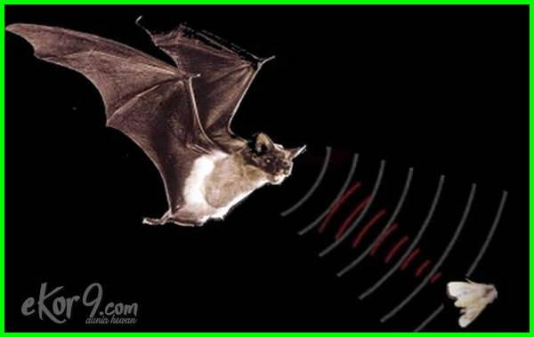 kelelawar menggunakan gelombang untuk navigasi, kelelawar menggunakan gelombang apa untuk navigasi, cara kelelawar menggunakan gelombang ultrasonik
