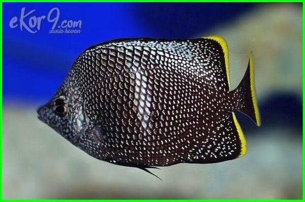 jenis ikan laut yg harganya mahal, harga ikan laut paling mahal, ikan hias laut paling mahal, jenis ikan laut paling mahal, jenis ikan laut yg mahal, ikan laut yang paling mahal, ikan laut yg paling mahal, ikan laut yang mahal, jenis ikan hias air laut yang mahal, ikan laut yg mahal harganya