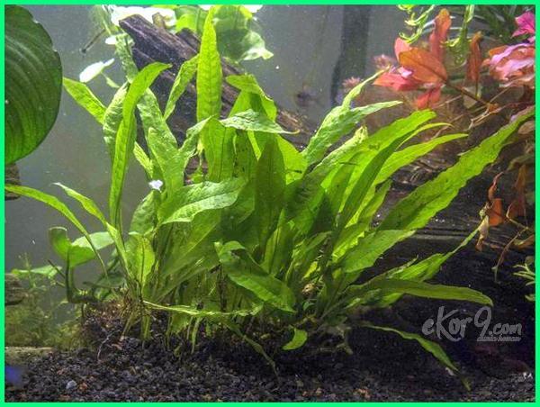 macam tanaman hias akuarium, jual tanaman hias akuarium air tawar, nama tanaman hias aquarium, tanaman hias aquarium plastik, tanaman hias pada aquarium