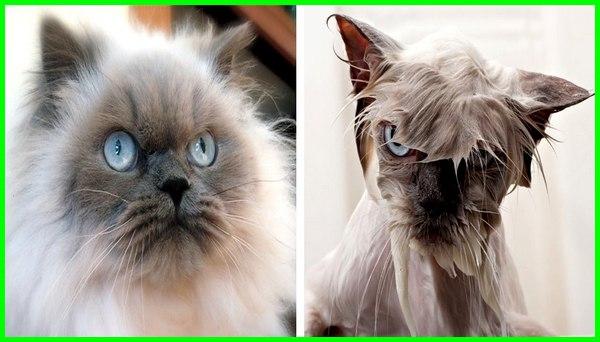 kucing mandi seminggu sekali, kucing takut mandi, kucing boleh mandi umur, kucing mulai mandi umur berapa, jadwal mandi kucing yang baik, kucing 1 bulan boleh mandi