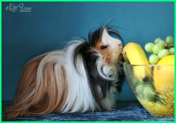 cute guinea pig pictures, really cute guinea pig