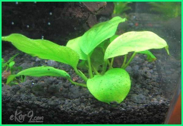 penjual tanaman hias aquarium, pupuk tanaman hias aquarium, jenis pupuk tanaman hias aquarium, tanaman hias sintetis aquarium, jual tanaman hias aquarium surabaya, tanaman hias aquarium air tawar surabaya, tanaman hias untuk akuarium, tanaman hias untuk aquarium