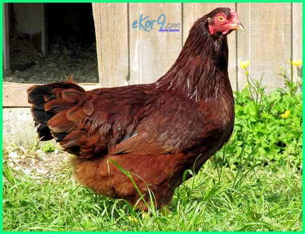 jenis ayam broiler yang ada di indonesia, jenis baka ayam pedaging, jenis ayam buras pedaging, jenis bibit ayam pedaging, jenis ayam bangkok pedaging, jenis dan ciri ayam pedaging, jenis ayam broiler dan gambarnya