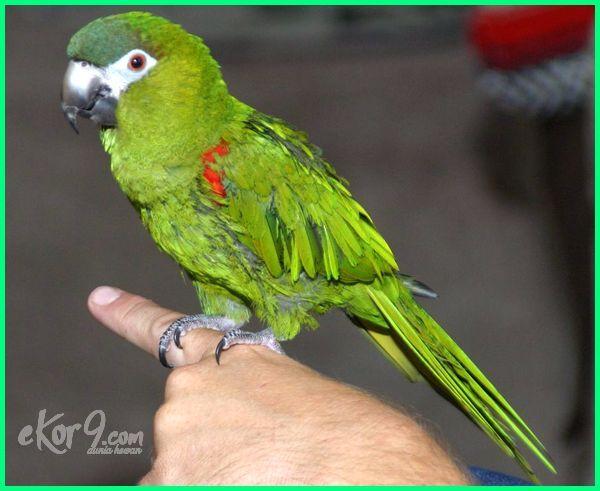 jenis burung macaw terkecil, burung macaw paling kecil