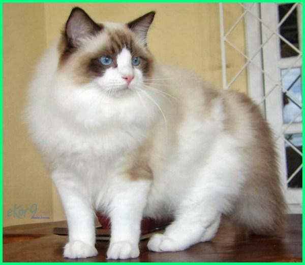 kucing bulu lebat, nama kucing bulu lebat, penjagaan kucing bulu lebat, bulu kucing agar lebat, bulu kucing biar lebat, kucing bulu leher lebat