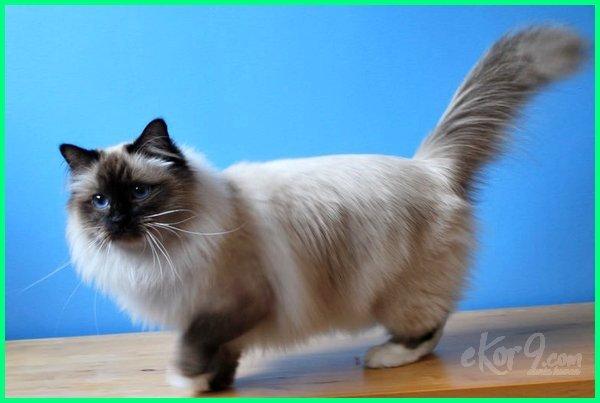 cara merawat bulu kucing biar lebat, kucing comel bulu lebat, cara membuat bulu kucing cepat lebat, cara membuat bulu kucing lebat dan tidak rontok, bulu kucing lebat dan panjang, jenis kucing berbulu lebat dan panjang, agar bulu kucing lebat dan tidak rontok, tips agar bulu kucing lebat dan halus, jenis2 kucing bulu lebat, jenis kucing dengan bulu lebat