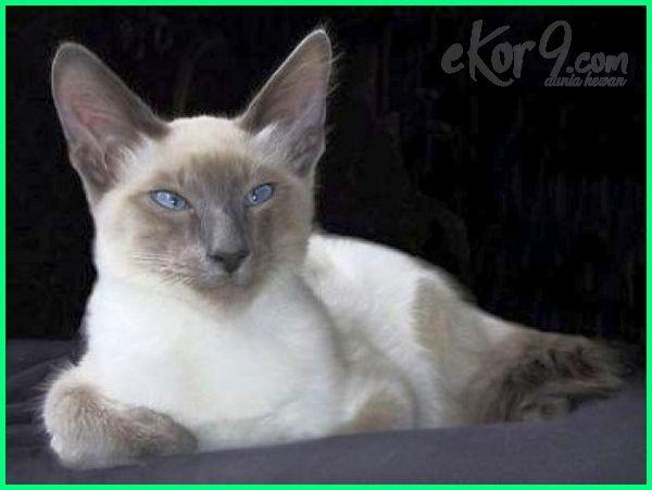 bulu kucing kampung lebat, membuat ras kucing kampung berbulu lebat