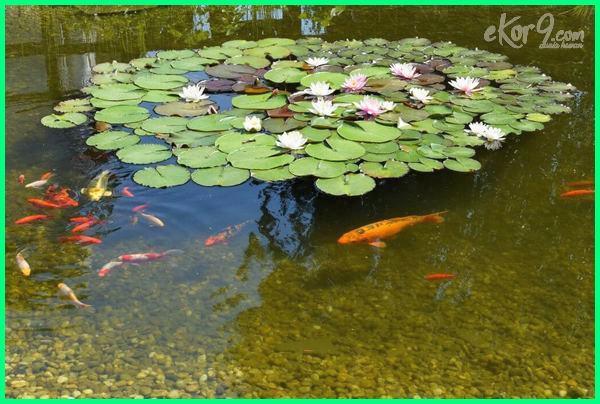 tanaman kolam ikan koi, tanaman obat ikan koi, tanaman untuk kolam ikan koi, tanaman air untuk kolam ikan koi, tanaman air kolam ikan koi