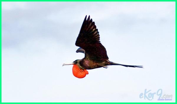 burung tercepat di dunia, burung tercepat di indonesia, burung tercepat kaskus, burung tercepat di udara, burung tercepat di bumi, burung tercepat adalah, jenis burung tercepat di dunia