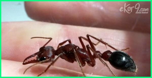 gambar semut berbahaya, gigitan semut berbahaya, jenis semut berbahaya, apakah gigitan semut merah berbahaya, 10 semut paling berbahaya di dunia, semut yang paling berbahaya, jenis semut paling berbahaya di dunia, semut yg paling berbahaya, jenis semut paling berbahaya