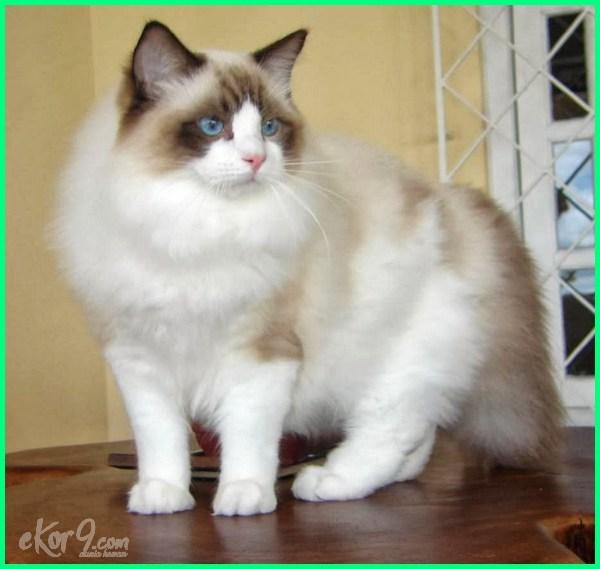 foto kucing tercantik di dunia, foto kucing tercantik dan termahal, foto2 kucing tercantik di dunia, foto2 kucing tercantik, gambar kucing tercantik, kucing hias tercantik, instagram kucing tercantik, jenis kucing tercantik, jenis kucing tercantik di dunia