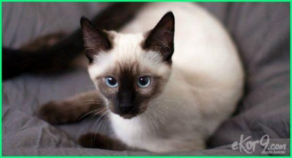 kucing tercantik dan lucu, kucing tercantik di malaysia, mata kucing tercantik, mata kucing tercantik di dunia, nama kucing tercantik, kucing ras tercantik, ras kucing tercantik di dunia