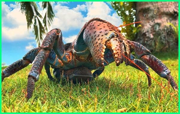 kepiting kenari ternate papua tarakan balikpapan harga samarinda surabaya manado halal atau haram dandito adalah apakah bisa dimakan dilindungi alamat asal resep saos asam manis