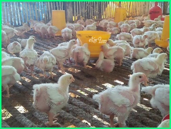 peternakan unggas, peternakan ayam broiler, peternakan ayam broiler di bogor, peternakan hewan unggas, istilah peternakan unggas, peternakan ayam lokal, peternakan ayam ras