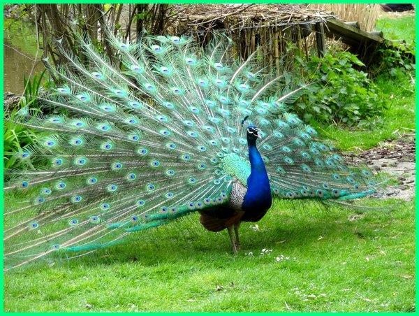 Gambar  Burung  Merak  Asli