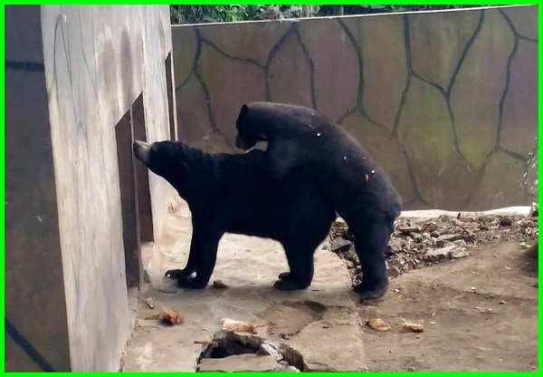 beruang madu kawin di kebun binatang