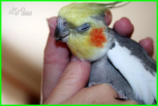 harga burung falk sepasang, harga falk australia, jenis burung falk dan harganya, kicau burung falk, parkit falk