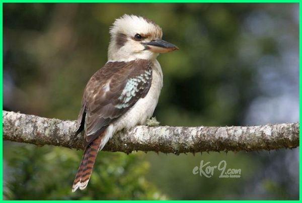 burung yang hanya ada di Australia