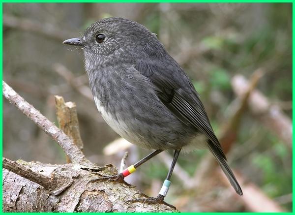 burung robin selandia baru, selandia baru