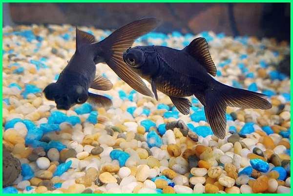 harga ikan black moor, jenis ikan koki black moor