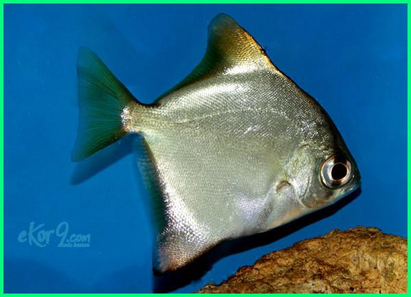 20 Jenis Ikan Hias Air Tawar Asli Indonesia dan Asal ...