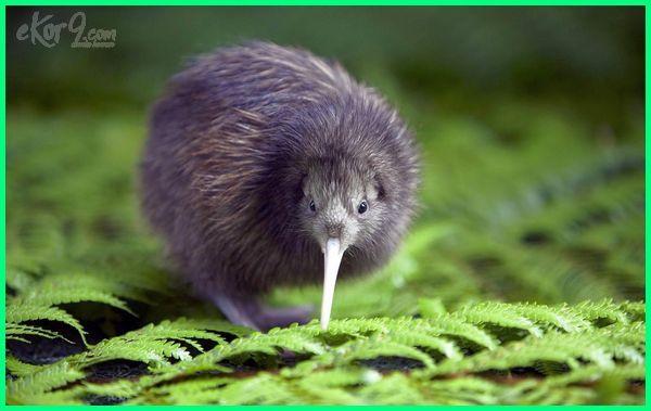 hewan selandia baru, hewan khas selandia baru tts, hewan dari selandia baru, hewan khas selandia baru adalah