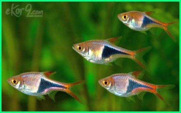 ikan hias kecil air tawar berkumpul bergerombol