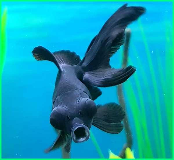 ikan koki black moor, ikan mas black moor