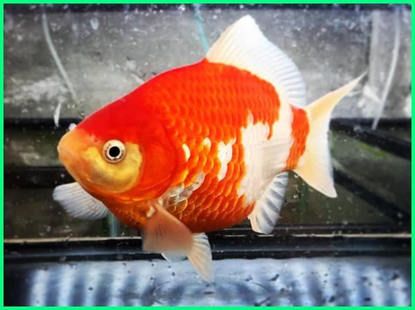 tamasaba farm, tamasaba goldfisch kaufen, sabao - tamasaba goldfish, tamasaba goldfische kaufen, sabao - tamasaba goldfisch, harga tamasaba