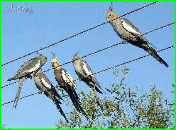 jenis burung falk australia