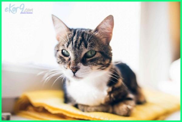 kucing menurut pandangan islam, manfaat kucing dalam islam, hukum memelihara kucing dalam islam, islam dan kucing, pahala memelihara kucing dalam islam