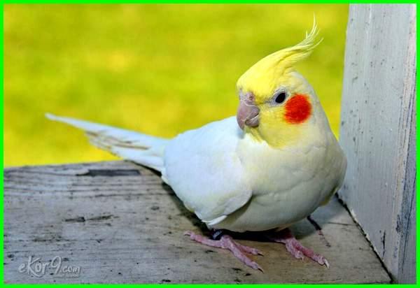 jenis burung falk yang bagus
