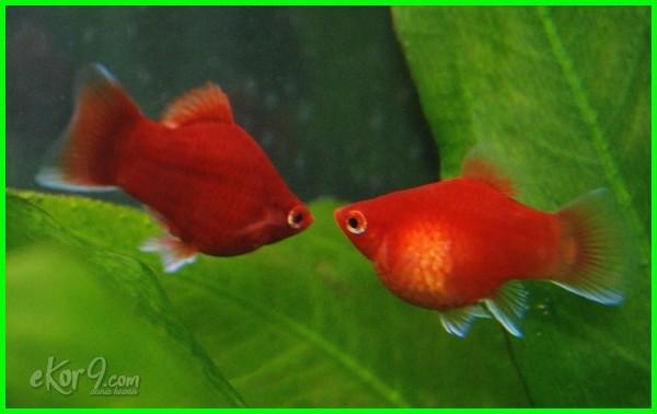 cara membedakan ikan platy jantan dan betina, cara membedakan ikan platy betina dan jantan, cara membedakan ikan platy jantan, cara membedakan kelamin ikan platy